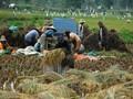 BMKG: El Nino Sampai November Berpotensi Rusak Panen Padi