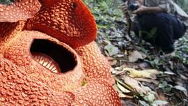 Bunga Rafflesia Sudah Terancam Punah