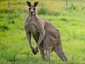 Australia Buru Pengendara Mobil yang Tewaskan 17 Kanguru