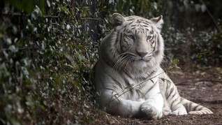 Cerita Mike Tyson Soal Macan Peliharaan Terkam Tetangga