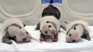 Dua Panda Kembar Dibaptis di Austria