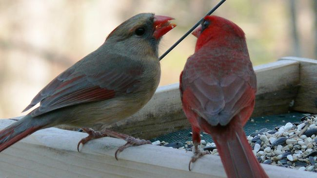 Perkenalkan, Burung Setengah Jantan Setengah Betina