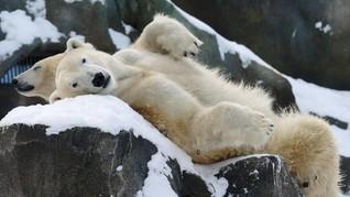Mendekati Beruang Kutub Bisa Kena Denda Puluhan Juta Rupiah