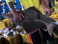 Menteri Susi Larang Ekspor Hiu Koboi Sampai November 2015