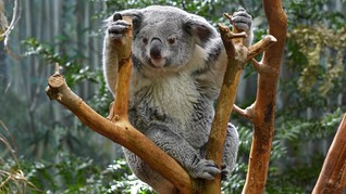 Populasi Membengkak, Koala Terancam Dimusnahkan