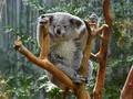 Kelaparan Usai Habitat Dirambah, Lusinan Koala Disuntik Mati