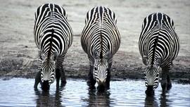 Kebun Binatang Norwegia Penggal Zebra Demi Kenyangkan Singa