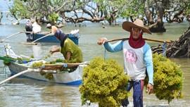 Rencana AS Boikot Produk Rumput Laut Bikin Cemas Kemendag