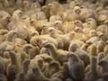 Ribuan Ayam Ternak di Inggris Mati akibat Kepanasan