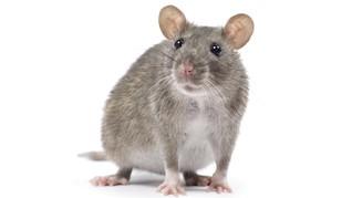 Ternyata Tikus Bisa Jadi Pialang Saham Andal