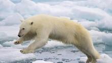 Krisis Iklim, Beruang Kutub Makin Kurus dan Sedikit Beranak