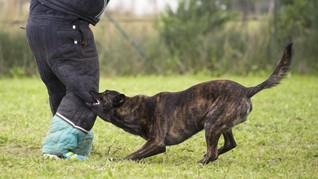 Pesepakbola Ini Digigit Anjing Saat Bertanding