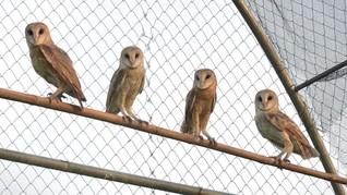 Bantul Ingin Populerkan Wisata Rumah Burung Hantu