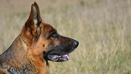 Ahli Respons Anjing Dilatih Mendeteksi Corona pada Manusia