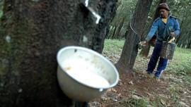 Diserang Jamur, Produksi Karet Nasional 2019 Turun 15 Persen
