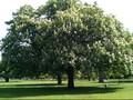 Kisah Pohon Keramat di Jepang yang Tak Mempan Ditebang