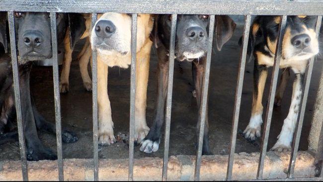 Bocah Kritis Usai Digigit Anjing Pit Bull di Medan