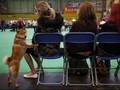 Akita, Anjing yang Setia dan Menggemaskan dari Jepang