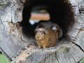 Rita dan Delilah, 'Guru' Guinea Pig Penghilang Cemas