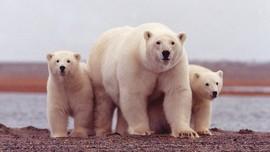 Demi Hibernasi Beruang, Stasiun TV Pindahkan Lokasi Pesta