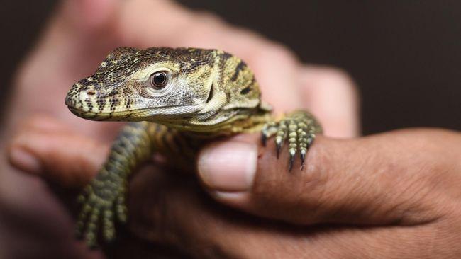 Langka, Komodo Beranak Tiga Tanpa Kawin dengan Pejantan