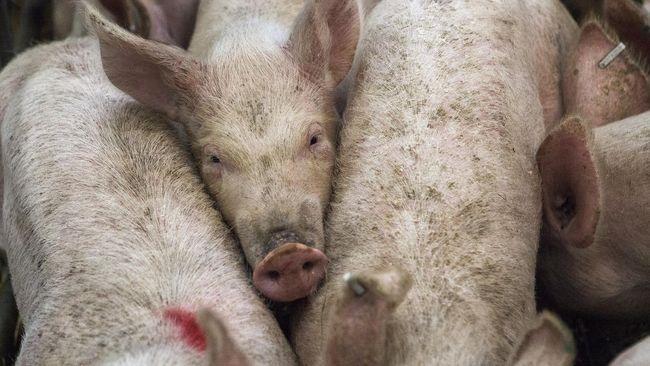 Gara-gara Flu Babi, Harga Jual Daging Babi Bisa Meroket