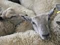 Ratusan Domba Kurban dari Irlandia Mati dalam Penerbangan