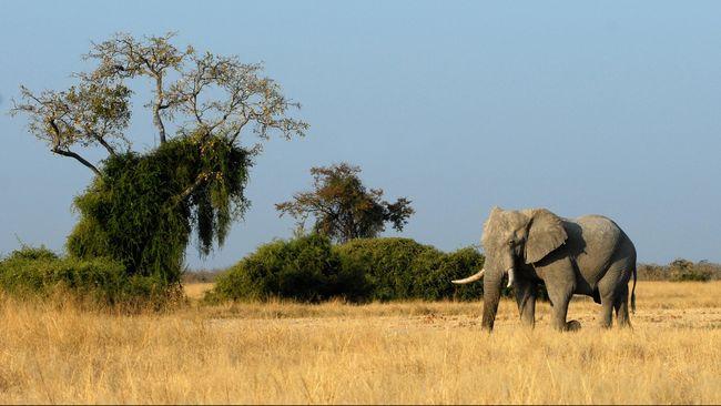 Gajah Terhindar dari Kepunahan Berkat Gen Penghancur Kanker