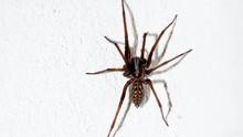 Usai Banjir dan Karhutla, Laba-laba Beracun Hantui Australia