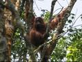 Peran Orangutan di Hutan Kalimantan