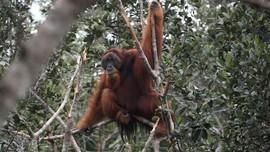 Ahli: PLTA Batang Toru Bunuh Orangutan Tapanuli Hingga Punah