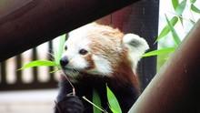 Bayi Panda Merah Pertama Dilahirkan di Bogor