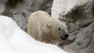 Puluhan Beruang Kutub Disebut Serang Rumah Warga di Rusia