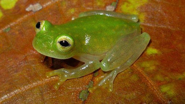 Ditemukan Spesies Baru Kodok Kaca, Wajahnya Seperti Kermit