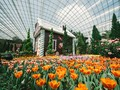 Melihat Indahnya Warna-warni Tulip Belanda di Singapura