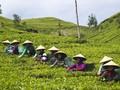 Kulon Progo Percepat Perealisasian Agrowisata Kebun Teh