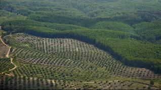 Greenomics: Kebun Sawit Dominasi Areal Moratorium Gambut