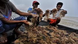 KKP Ingin Tingkatkan Produksi Rumput Laut di Rote Ndao
