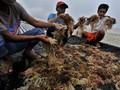 Kadin Desak KKP Kaji Ulang Peta Jalan Industri Rumput Laut