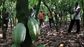 Kementan Pangkas Anggaran Peremajaan Lahan Kakao dan Kelapa