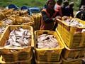 Kiara Minta Pemerintah Evaluasi Kebijakan Impor Ikan