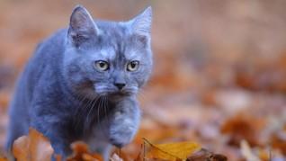 Kucing 'Penakluk' Pegunungan Rocky