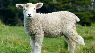 Setelah 60 Tahun Akhirnya Domba Kembali Merumput di London