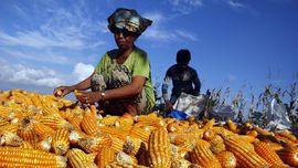 Setelah Beras, Pemerintah Bakal Benahi Data Produksi Jagung