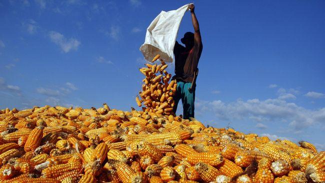 Bulog Akan Impor 70 Ribu Ton Jagung dari Argentina dan Brazil