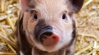 Hog Cholera, Penyakit yang Serang Sejumlah Babi di Sumut
