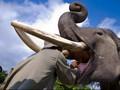 Sedang Makan Malam, Pria Thailand Tewas Diseruduk Gajah