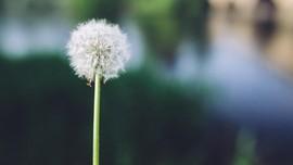 7 Manfaat Teh Dandelion, Cegah Obesitas Hingga Diabetes