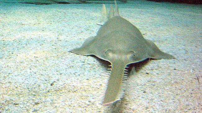 Terekam, Ikan Gergaji Lahir dari Induk 'Perawan'