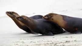 Anjing Laut Tampar Pendayung Kayak dengan Gurita